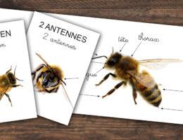 kit imagier à imprimer pour découvrir l'anatomie de l'abeille