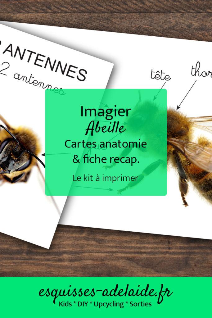 imagier abeille, cartes anatomie et fiche récapitulative à imprimer